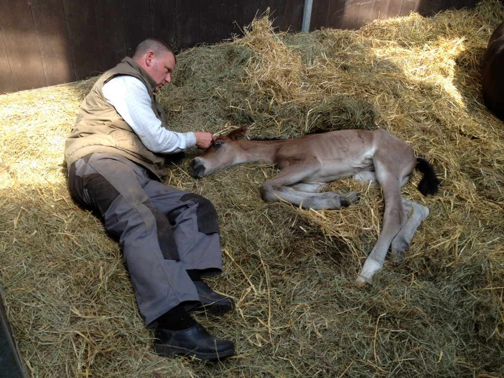 9. maj 2013 Lady Marion tager sig en lur,  mens Mogens holder vagt. Sådan en fødsel tager på kræfterne !