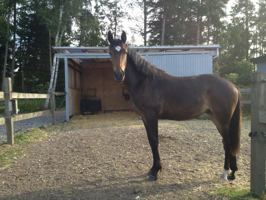 Juli 2014: Lady Marion udvikler sig meget positivt. Hun er en smuk hest og meget kontaktsøgende ved hegnet. Dejligt.