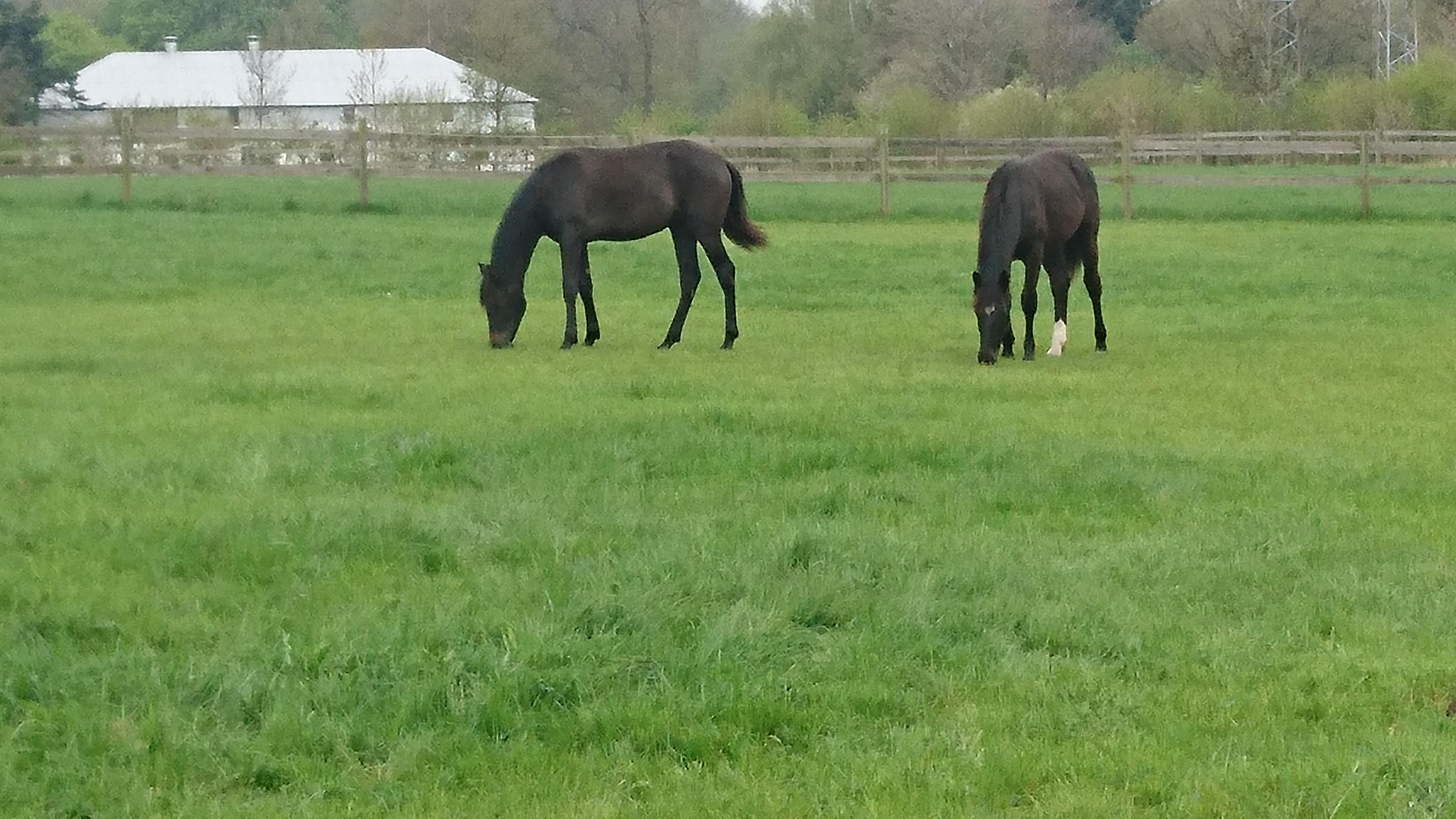 """April 2018. Nu er hestene græsset ind - til at gå på sommergræs. De nyder livet med masser af græs - sol - og også lidt """"føl-ballade""""."""
