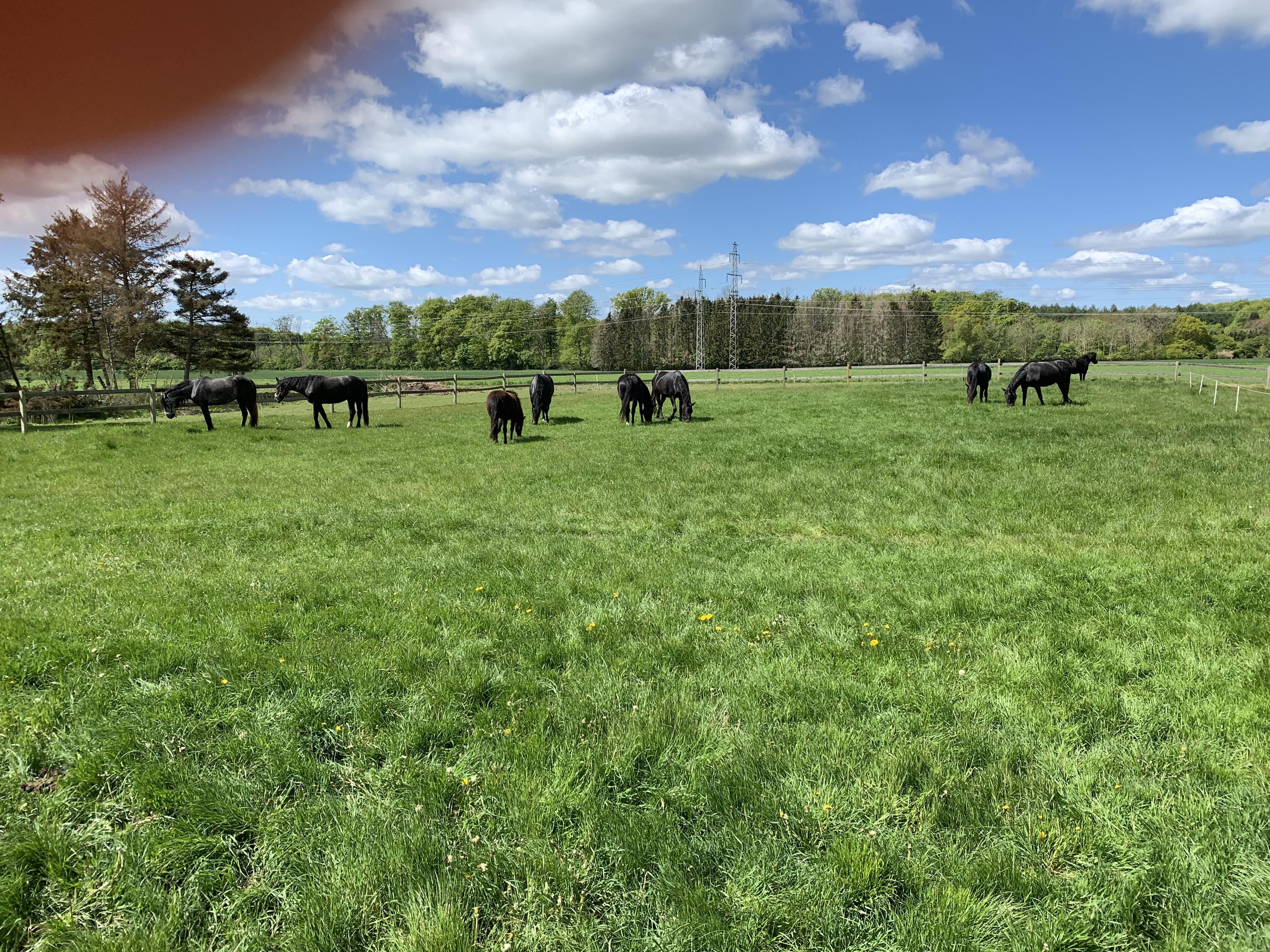 Maj 2020: Så er hestene kommet på sommergræs. De græsses forsigtigt med et par timer hver dag.