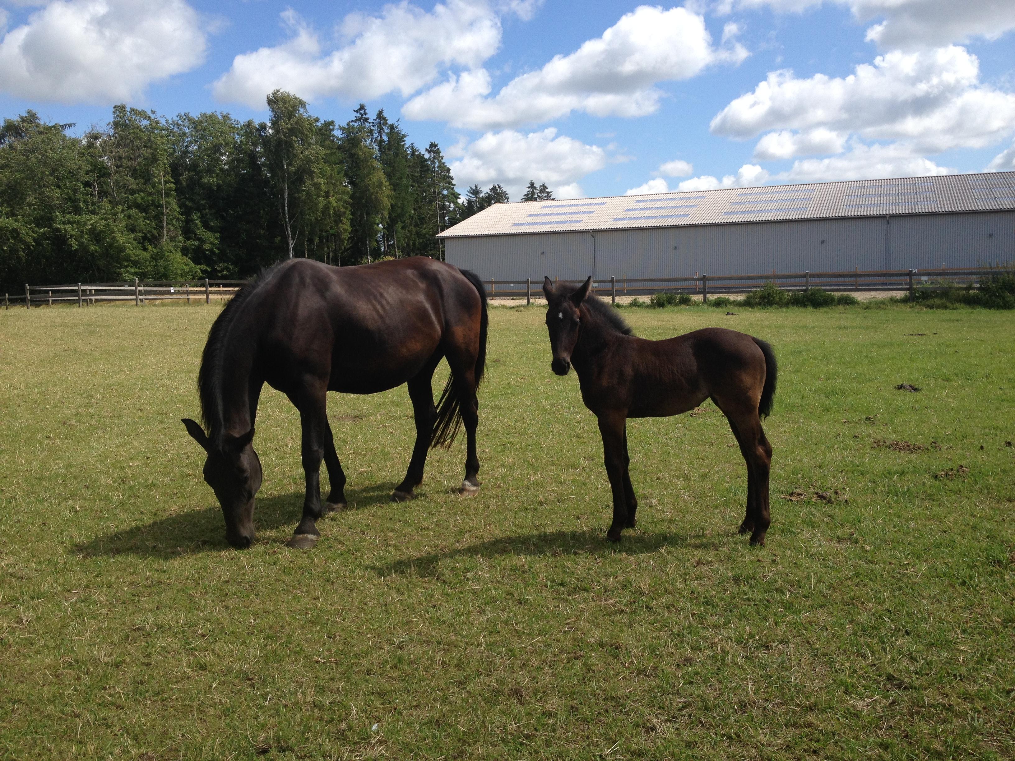 19. juli 2015 Claudia med sin mor Cleo. En meget køn og charmerende ung dame. Det er Cleos andet føl og vi overvejer at sætte Cleo i ridning igen meget snart.