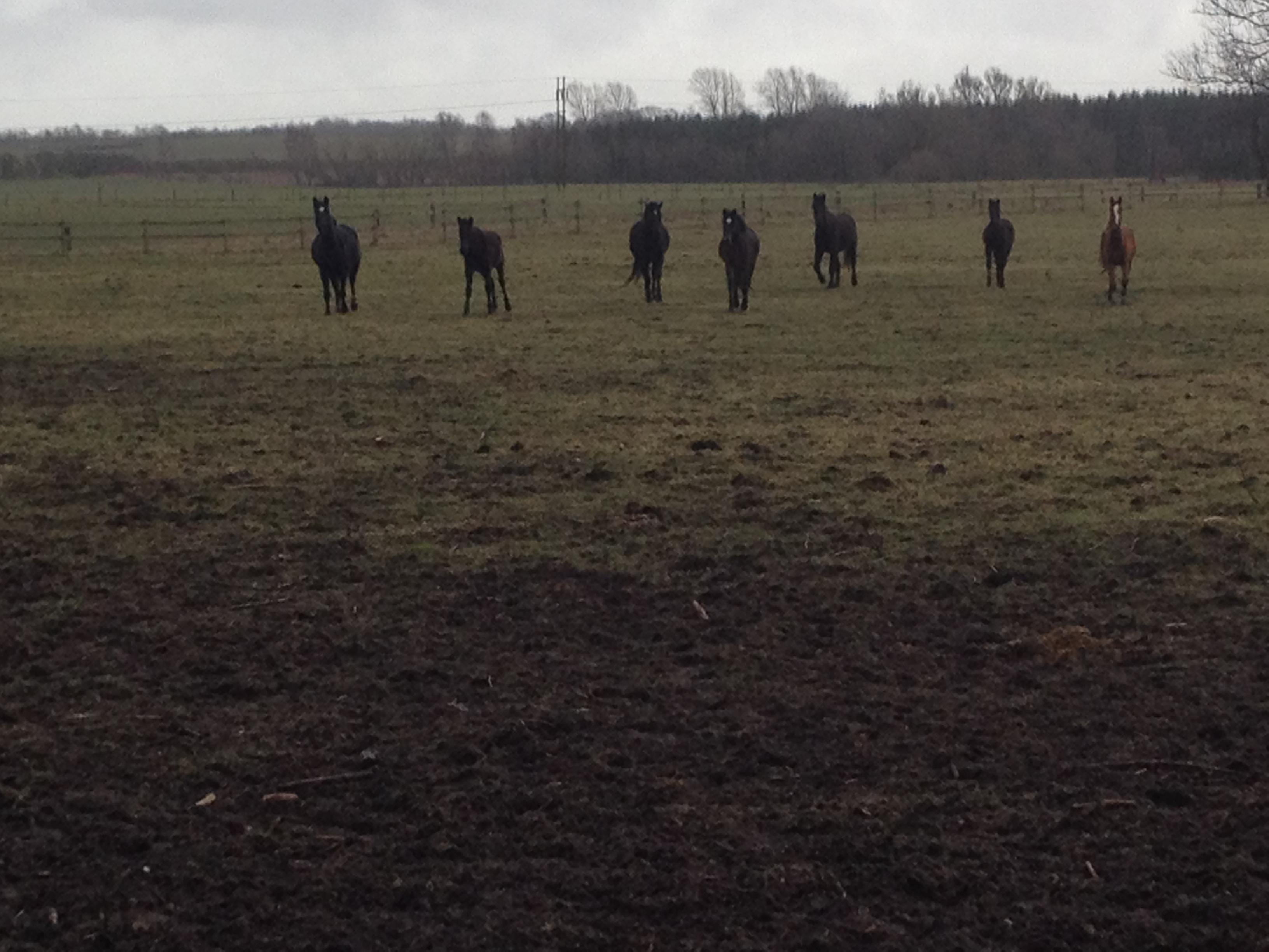 Februar 2016.  Hestene på græs på engen. Det er en typisk grå februar dag - men et fløjt og så kommer de i fuld galop til hegnet. Dejligt at nusse og tale over hegnet.