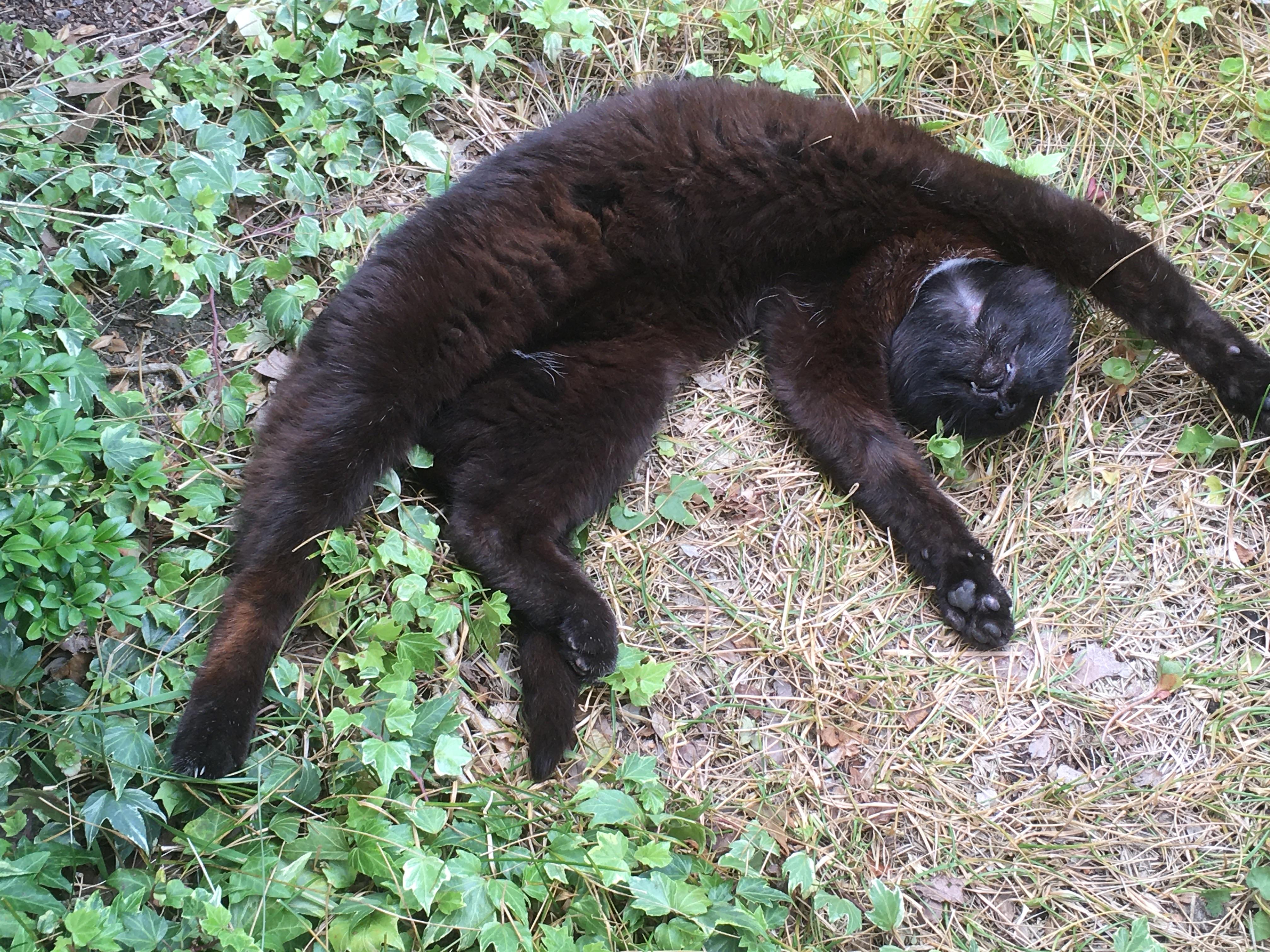 Juli 2020.  Katten Mie på en varm sommerdag. Livet er dejligt i skyggen under en busk.